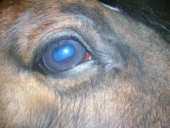 Common Equine Eye Complaints - Equilibrium Products