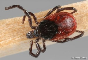 western black legged tick