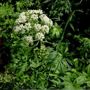 Waterhemlock Flower