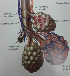 alveolar pic