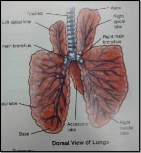 Lung pic2