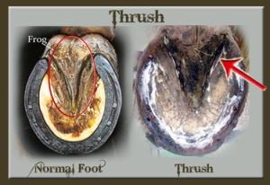 thrush 1