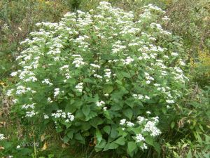 Plant week - white-snakeroot