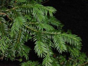 Plant Week - yew